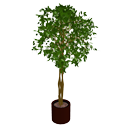 Ficus by Scopia